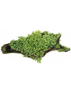 Riccardia chamedryfolia En...