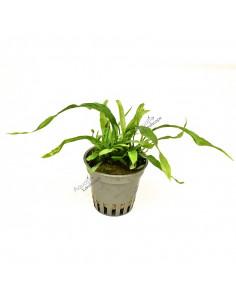 Microsorum pteropus 'Petit'